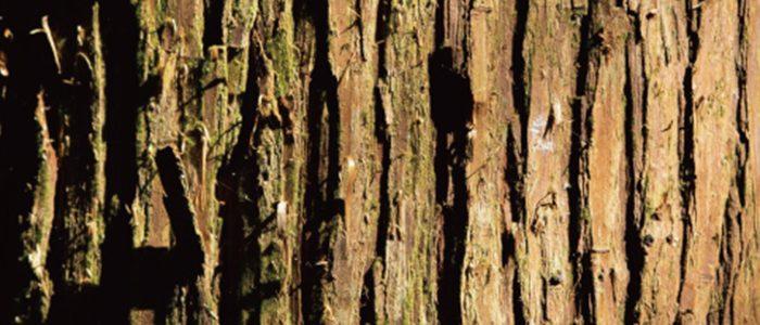 「SHIRO」のフレグランスシリーズから新たにヒノキとヒバの香りを楽しむアイテムが登場